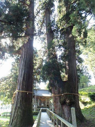 天然記念物に指定されている栢野大杉